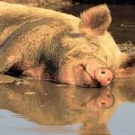 Modern day Parables: The dirty pig who was happiest in mud