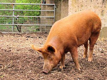 unhappy pig