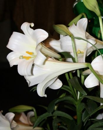 lilies in bereavement when Jesus calls a baby home
