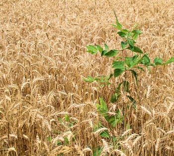 Weeds in the Wheat Field